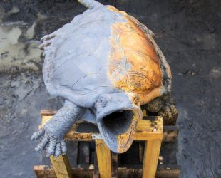 Turtles being restored